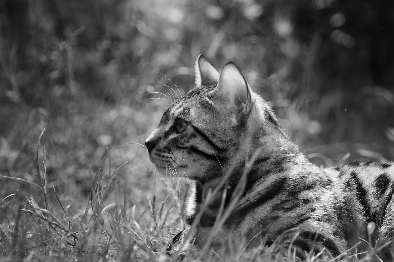 image bengalcat grass black n white