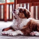 image of an Australian Shepherd puppy