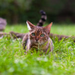 image of an bengalcat laying in the grass. Cat eyes