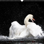 image, calendar, swan